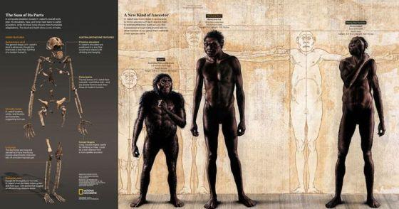 Σύνθεση σκελετού του Homo naledi ολόκληρου του σώματος και μια σύγκριση με είδη Homo, όπως ο Homo erectus και Αυστραλοπίθηκος, όπως η Lucy. Credits: Σκελετός: Stefan Fichtel / National Geographic Body Comparison Painting: John Gurche