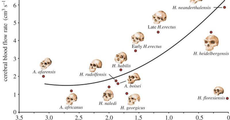 Άνθρωπος – Εγκέφαλος: Η εξέλιξη της ευφυΐας του Ανθρώπου σχετίζεται με την αύξηση παροχής αίματος προς τον εγκέφαλο