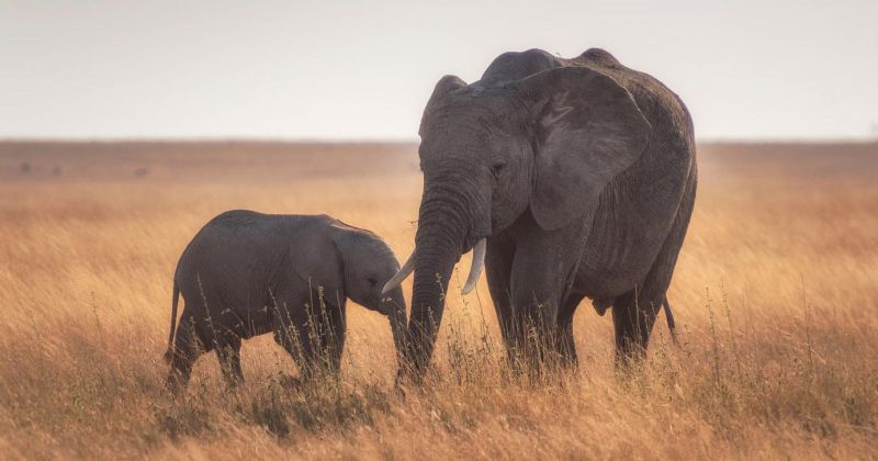 Εγκαταλελειμμένο γονίδιο ενεργοποιήθηκε ξανά και προστατεύει τους ελέφαντες από τον καρκίνο