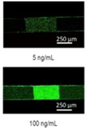 Εεικόνες φθορισμού ανοσοχημικού προσδιορισμού για τον λιποπολυσακχαρίτη της Σαλμονέλας (LPS) που πραγματοποιήθηκε σε κατεργασμένα με πλάσμα O2 μικροκανάλια PMMAικόνα 1-γ: