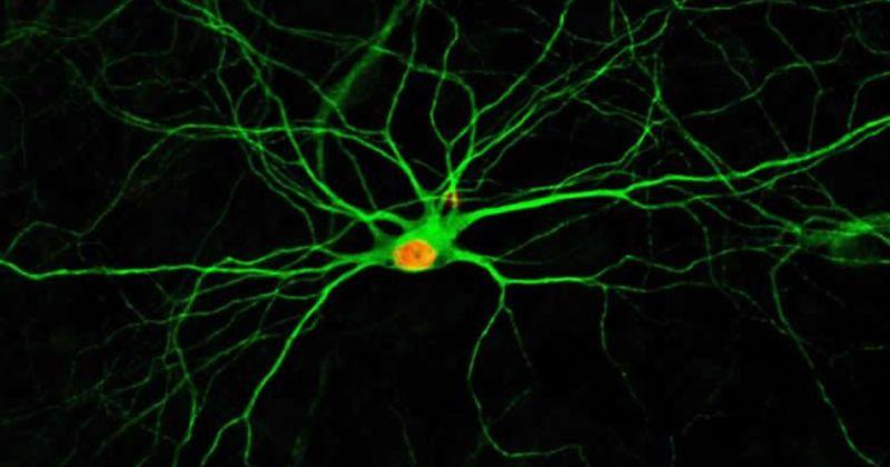 Ελπίδες σε ασθενείς με Alzheimer – Συνδυασμός απλών φαρμάκων δημιουργεί νέους νευρώνες από γειτονικά κύτταρα