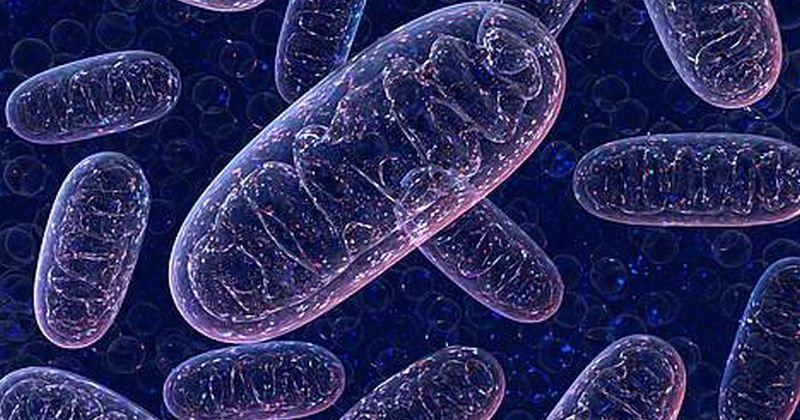 Προσδιορίστηκε από επιστήμονες ο έλεγχος του μηχανισμού μιτοχονδριακής προστασίας